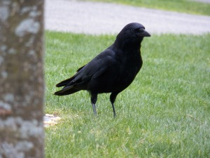 one-black-crow